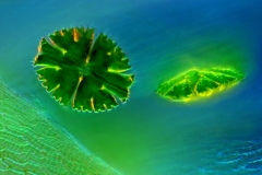 36. Desmidie (Micrasterias apiculata) / Desmids (Micrasterias apiculata)
