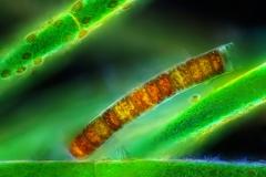 82. Okrzemki (Melosira sp.) na gałęzatce / Diatoms (Melosira sp.) on Cladophora