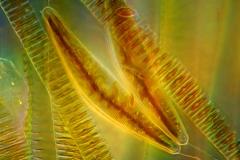 32. Okrzemki (Cymbella i Fragilaria) / Diatoms (Cymbella and Fragilaria)