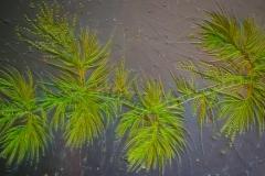 123. Draparnaldia (zielenica) / Draparnaldia (green algae)
