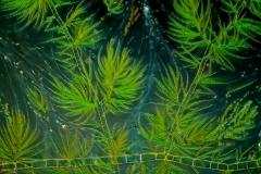 124. Draparnaldia (zielenica) / Draparnaldia (green algae)