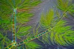 126. Draparnaldia (zielenica) / Draparnaldia (green algae)