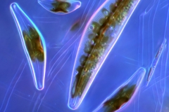 26. Okrzemki (Cymbelle sp.) / Diatoms (Cymbella sp.)