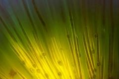 11. Rivularia