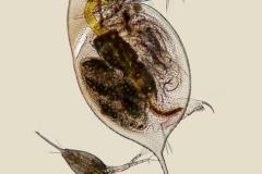 14. Daphnia sp.