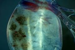 36. Wioślarka / cladoceran