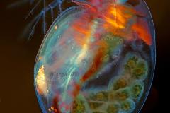42. Rozwielitka (Daphnia magna) / Cladoceran (Daphnia magna)