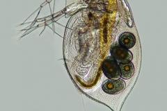 9. Daphnia sp.