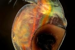 60. Dafnia z jajami spoczynkowymi (zimowymi) / Daphnia with resting eggs