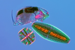 29. Wrotek (Cephalodella sp.) i desmidie (Micrasterias truncata i Netrium) / Rotifer (Cephalodella sp.) and desmids (Micrasterias truncata and Netrium)