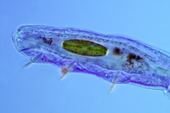 6. Skąposzczet (Chaetogaster) / Oligochaeta