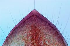 26. Skrzelotchawka larwy łątki / Caudal gill of a damselfly larval stage