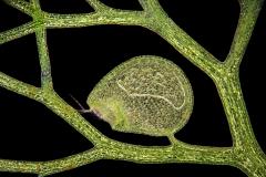 27. Pływacz / Utricularia